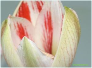 Primele flori de Amaryllis