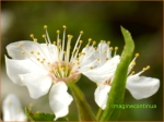 Gata de polenizare