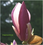 Petala de magnolie mangaiata de lumina primaverii