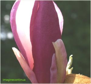 Enigma florii de magnolie