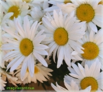flori de margareta