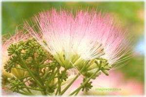 Mimoza senzitiva
