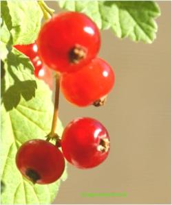Fructe de coacaz rosu (Ribes rubrum)