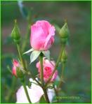 Trandafir roz cu boboci