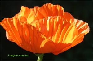 Mac portocaliu ( papaver somniferum)
