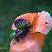Mac de gradina ( Papaver somniferum)