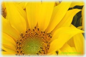 Floarea soarelui( Helianthus annuus)