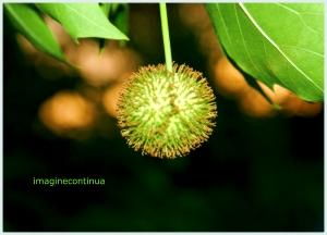 Fruct de platan ( platanus acerifolia)
