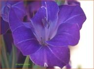 Gladiola albastra 2
