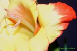 Gladiola galbena cu rosu