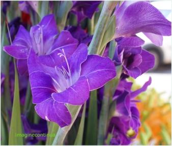 Gladiole albastre 1