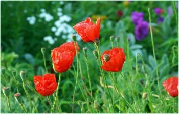 maci rosii 1