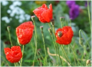 maci rosii 5