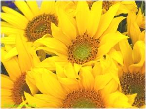 Floarea soarelui ( Helianthus annuus)