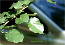 Frunze de tei argintiu (Tillia argentea)
