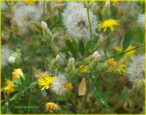 Paladie (Taraxacum oficinalis)