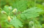 Rostopasca ( Chelidonium mayus)
