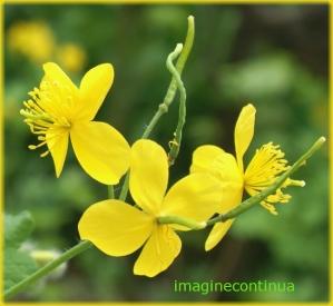Flori de rostopasca ( Chelidonium mayus)