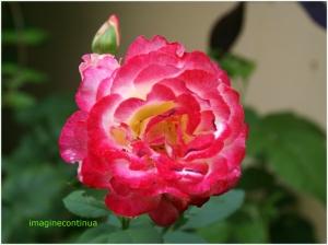 Trandafir inmiresmat