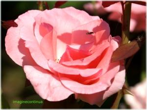 Trandafir roz vizitat de o furnica