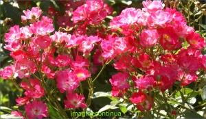 Tufa de trandafiri