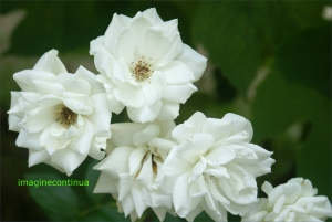 Un buchet de trandafiri albi