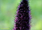 inflorescente 4