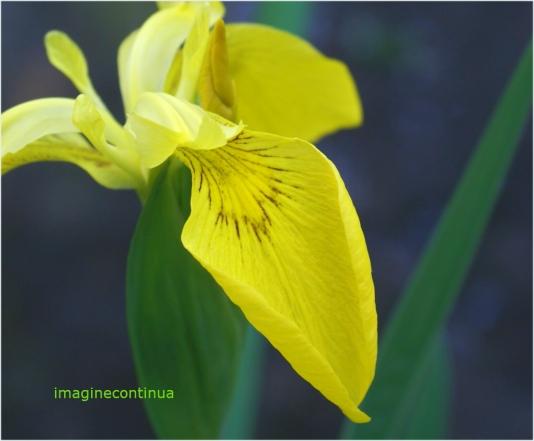 Iris de balta 2