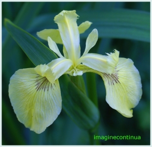 STANJENEL GALBEN ( Iris pseudodacorus)