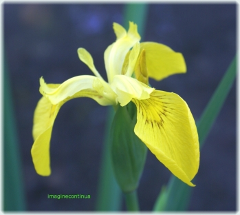 iris de balta