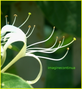 Mana Maicii Domnului( Lonicera japonica)