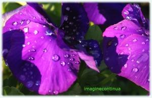 Flori de petunii mov dupa o ploaie de toamna