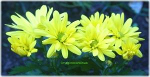 Flori de crizanteme galbene