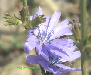 Flori de cicoare
