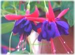 Fuchsia hibrida