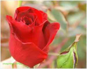 Boboci de trandafir rosu