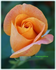 Trandafir portocaliu