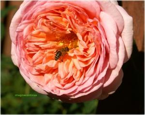 Trandafir vizitat de o albina