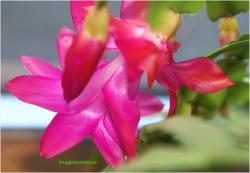Flori de Schlumbergera