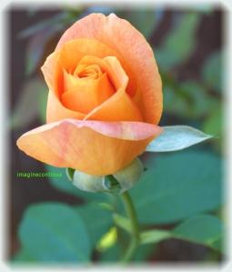 Floare de trandafir portocaliu