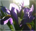 Iris albastru in buchet