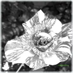 Trandafir in alb si negru 2