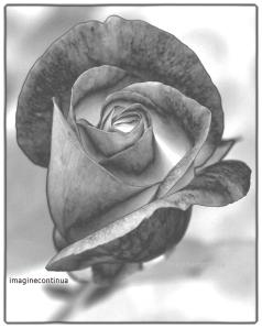 Trandafir in alb si negru