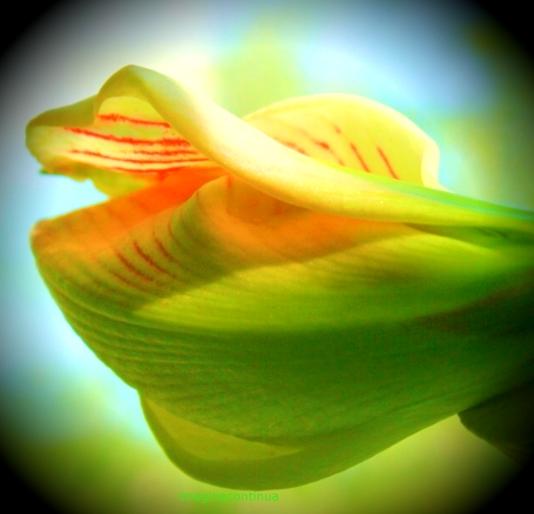 amaryllis 4