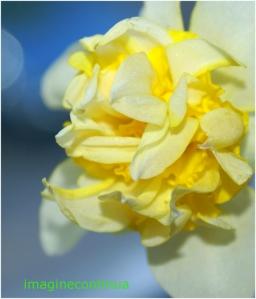 Narcisa alb cu galben 2