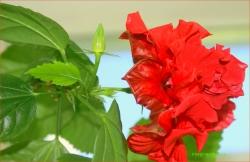 Trandafir japonez