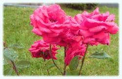 Trandafiri in ploaie