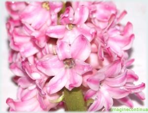 Zambila roz ( Hyacinthus orientalis)