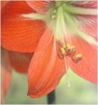 Amaryllis rosu
