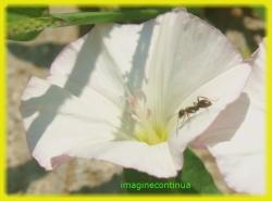 Floare de volbura si furnica